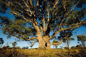 Evkaliptus drevo
