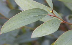 Evkaliptusovi zdravilni listi