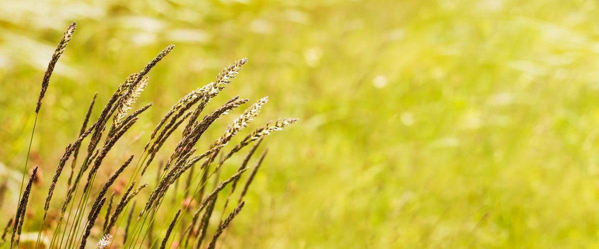 alergija na rave se pojavi zgodaj poleti, ko zacvetijo trave